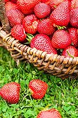 Harvest of strawberries 'Darselect' in a garden