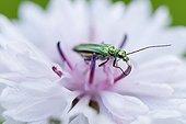 Thick-legged Flower Beetle female on flower - Alsace France