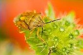 Black-shouldered Shield Bug on Scabiosa - Alsace France