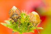 Black-shouldered Shield Bugs on Scabiosa - Alsace France