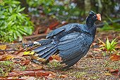 Razor-billed curassow - Amazon river basin Brazil