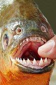 Red-bellied Piranha teeth - Rio Ipixuna Brazil Amazon