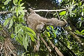 Brown-throated sloth on branch - Atlantic Forest Brazil