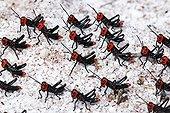Soldier Grasshoppers - Espirito Santo Brazil