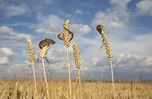 Harvest Mouses on wheat in summer - GB