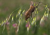 Harvest Mouse on wild oats in summer - GB