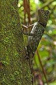 Dusky Earless Agama on a trunk - Gunung Mulu NP Bornéo