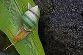 Snail on leaf - Sepilok Borneo Malaysia