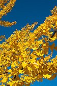 Maidenhair foliage in autumn