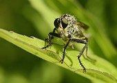 Robber fly on a leaf - France