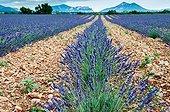 Lavandine field in Provence - France