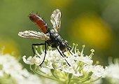 Tachinaire léchant le nectar d'une Grande Berce - France