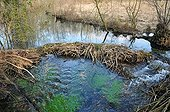 European Beaver dam on a backwater of the river Ain - France