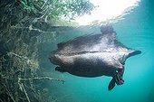 European beaver underwater - Backwater Rhone France