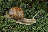 Burgundy snail - Plan de Tuéda Alpes France ; Elevation: 1800 m