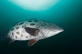 Potato grouper in Indian ocean - South Africa