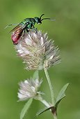 Ruby-tailed Wasp on flower Clover - Northern Vosges France