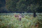Cerf élaphe mâle brâmant dans les fougères -Richmond Park RU