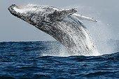 Rorqual à bosse bondissant hors de l'eau en Afrique du Sud ; Chaque année les baleines à bosse migrent le long du Canal du Mozambique pour aller se reposer dans les eaux calmes de l'Océan Indien avant de repartir pour l'Antarctique.