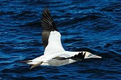 Cape gannet looking for sardines in South Africa
