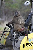 Chacma baboon on construction machine - South Africa  ; Conflict between baboons and humans in an urban zone