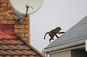 Chacma baboon on the roof of a house - South Africa ; Conflict between baboons and humans in an urban zone