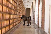 Chacma baboon in a corridor inside a bulding - South Africa ; Conflict between man and baboon in urban areas.