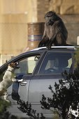 Baboon on a car harassed by a Dog - South Africa  ; Conflict between man and baboon in urban areas.<br>Some baboons like to play with dogs even it is not sure it is a play for the dog.