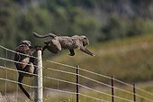 Chacma baboon entering a vineyard - South Africa  ; Conflict between man and baboon in urban areas.