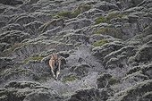 Cape Eland in the fynbos - Table Mountain South Africa