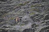 Eland du Cap dans le fynbos - Table Mountain Afrique du Sud