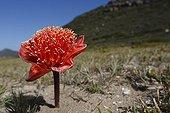 Haemanthus coccineus - Table Mountain Afrique du Sud