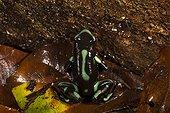 Dendrobate doré en sous-bois - Barro Colorado Panama