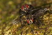 Accouplement de Tachinaires - Barro Colorado Panama ; Ces mouches accompagnent les fourmis légionnaires pour déposer leurs larves sur les blattes et autres orthoptères qui fuient.