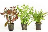Aquatic plants pot on white background ; Ludwigia Needle Leaf - East Indian Hygrophila'Sunset' -  Echinodorus 'red devil'