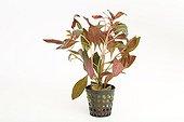 Ludwigia Needle Leaf pot on white background
