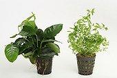 Aquatic plants pot on white background ; Dwarf Anubia barteri- creeping primrose willow