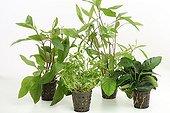 Aquatic plants in pots on white background ; Giant Hygrophila - Creeping primrose willow - Giant Hygrophila 'Thailand' - Dwarf Anubia barteri