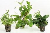 Aquatic plants in pots on white background ; Giant Hygrophila - Creeping primrose willow - Dwarf Anubia barteri