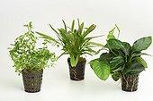 Aquatic plants in pots on white background ; Creeping primrose willow - Echinodorus 'red devil' - Dwarf Anubia barteri