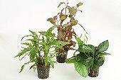 Aquatic plants in pots on white background ; Indian Hygrophila - Ludwigia Needle Leaf - Dwarf Anubia barteri