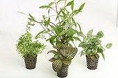 Aquarium plants and terrarium pot on white background  ; Ludwigia Needle Leaf - Giant Hygrophila 'Thaïland' - mosaic plant