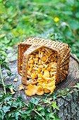 Harvest of chantarelles in a basket