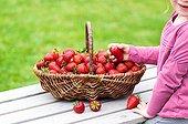 Harvest of strawberries in a basket