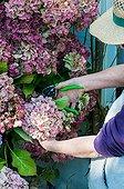 Making of dried hydrangea bouquets in a garden