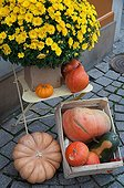 Chrysanthemum and squashes as Halloween decoration