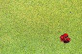 Poppy flower on gibbous duckweed