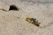 Bee Wolf with sedated Honey Bee - Denmark