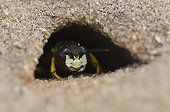 Bee Wolf hiding in the hole af the nest - Denmark