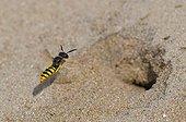 Bee Wolf flying infront of it's nest - Denmark